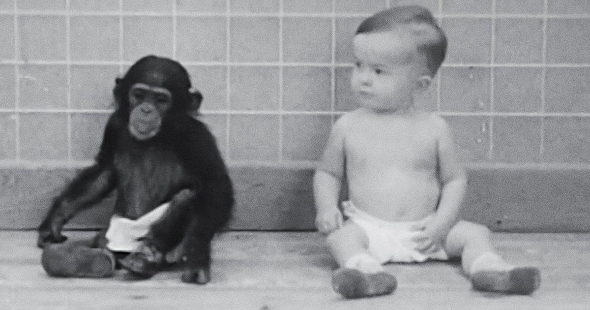 Ребенок, воспитанный с шимпанзе, начал вести себя как обезьяна
