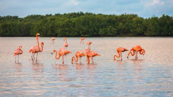 Фламинго взаповеднике Рио Лагартос