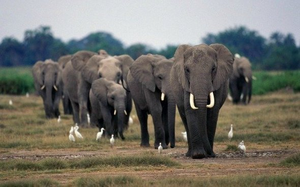 Эмпатия присуща не только людям. Слоны осознано сопереживают сородичам: прикасаются к нему хоботом, издают успокаивающие звуки