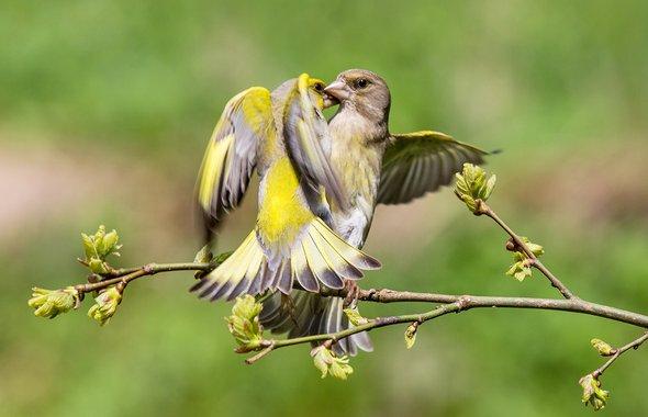 Обыкновенная зеленушка (лат. Chloris chloris)